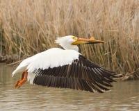 Flyg av pelikan Royaltyfri Fotografi