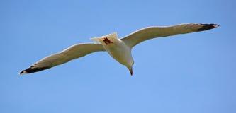 Flyg av seagullen Royaltyfria Bilder