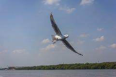 Flyg av seagullen Royaltyfri Bild