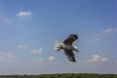 Flyg av seagullen Arkivfoto