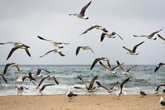 Flyg av seagulls Royaltyfri Foto