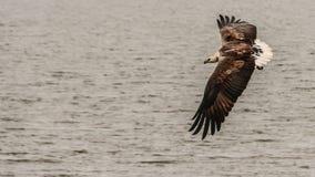 Flyg Eagle Arkivbilder