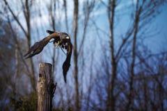 Flyg Eagle Royaltyfria Foton