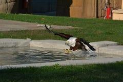 Flyg Eagle arkivfoton