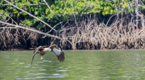 Flyg Eagle Royaltyfri Foto