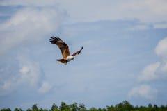 Flyg Eagle Royaltyfri Fotografi