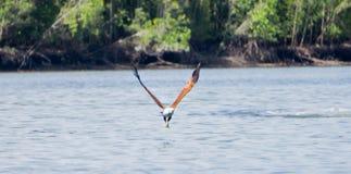 Flyg Eagle Fotografering för Bildbyråer