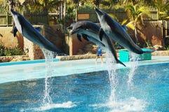 flyg för 2 delfin Royaltyfria Bilder