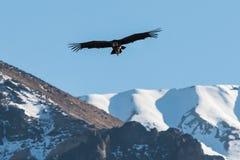 Flyg för Andean kondor i den Colca kanjonen Arequipa Peru Arkivfoton
