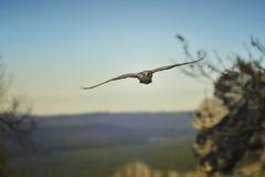 flyg för cherrugfalcofalk Fotografering för Bildbyråer