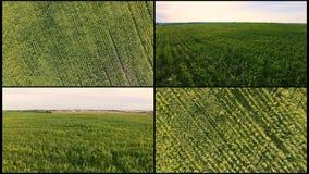 Flyg- flyg för collage över fält för grön havre Flyga över ett stort fält av havre Gräsplan som inte når havreskyttet från arkivfilmer