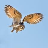 Flyg för Eagle uggla för ett byte Arkivbilder