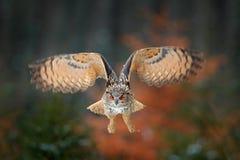 Flyg för Eagle uggla i den skogflygEagle ugglan med öppna vingar i livsmiljön med träd, fågelfluga Handlingvinterplatsen från nat arkivbilder