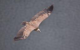 Flyg för Griffon gam Arkivbilder