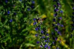 Flyg för hökmal som en kolibri framme av blomman royaltyfria bilder