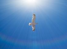 Flyg för havsfiskmås Arkivbilder