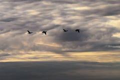 Flyg för kormoranPhalacrocoraxcarbo mot den dramatiska molniga himlen arkivfoton