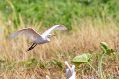 Flyg för nötkreaturägretthäger över jordbruksmark arkivbilder