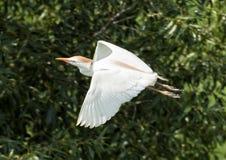 Flyg för nötkreaturägretthäger royaltyfri fotografi
