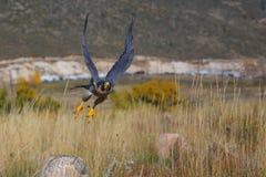 Flyg för Peregrine falk i ett fält Arkivfoto