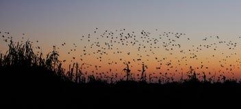 Flyg för Redbilled queleasvärm på solnedgånghimlen royaltyfri foto