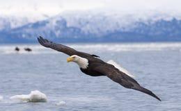 Flyg för skallig örn med över fjärden med is i vatten på Homer Royaltyfri Fotografi
