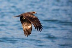 Flyg för svart drake Arkivfoto