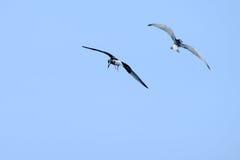 Flyg för två seagull Royaltyfri Foto