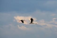 Flyg för två stork i himlen Arkivbild