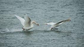 Flyg för två svan i sjön royaltyfria bilder
