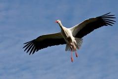 Flyg för vit Stork Royaltyfria Foton