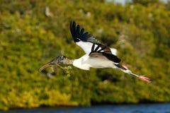 Flyg för Wood stork med att bygga bo material Arkivbild
