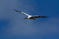 Flyg för Wood stork med att bygga bo material i Florida Royaltyfria Foton