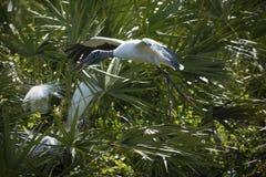 Flyg för Wood stork mot lövverk av en Florida råkkoloni Arkivfoton