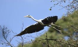 Flyg Gray Heron Royaltyfria Bilder