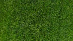 Flyg- längd i fot räknat av grönt gräs för vetefältet vinkar rört vid sommarvind mot bakgrund field blåa oklarheter för grön vitt arkivfilmer