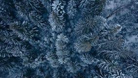 Flyg- längd i fot räknat av skogen för vintergranträd i bergen Sikten från över av sörjer träd som täckas med snö Quadcopter stock video