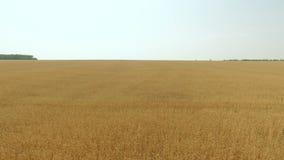 Flyg- längd i fot räknat av vetefältet som svänger i vinden stock video