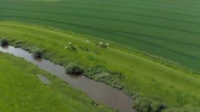 flyg- längd i fot räknat 4K av en flock av hästar som tillsammans med galopperar en flod i Yorkshire, England, sommar 2019 Taget  stock video