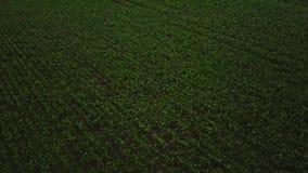 Flyg- längd i fot räknat som upprättar skottet av ett grönt fält Kameran lyfter upp video 4k av fältet för leguminous växter Surr stock video