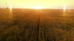 FLYG- lång varm aftonsolnedgångfluga över fält för skörd för hirs för veteråghavre åkerbrukt stock video