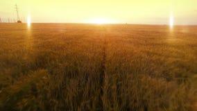 FLYG- lång varm aftonsolnedgångfluga över fält för skörd för råghavrehirs åkerbrukt lager videofilmer