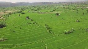 Flyg- landskap för grönt rårisfält Växande riskoloni på terrass i Bali, Indonesien surrsikt _ stock video