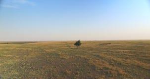 Flyg in mot det enkla trädet i fälten, guld- timme, flyg- sikt stock video