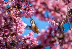 Flyg och äta för surrfågel royaltyfri foto