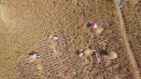 Flyg-: Ris som skördar process Balinesejordbruksarbetare som klipper risöron på fältet Traditionellt asiatiskt jordbruk 4K Bali, arkivfilmer