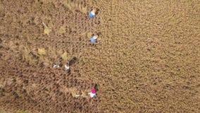Flyg-: Ris som skördar process Balinesejordbruksarbetare som klipper risöron på fältet Traditionellt asiatiskt jordbruk 4K Bali, lager videofilmer