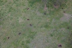 Flyg- sikt av den amerikanska bisonen fotografering för bildbyråer