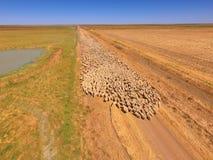 Flyg- sikt av den stora fårflocken Royaltyfria Foton