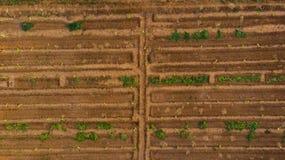 Flyg- sikt av den unga lantgården för bananväxt med yttersidabevattningsystemet, som en man som göras labyrint royaltyfri bild